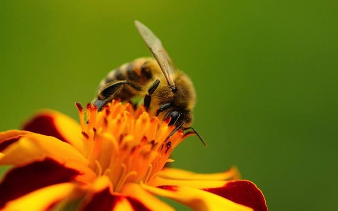 Bees pollinate Minnesota